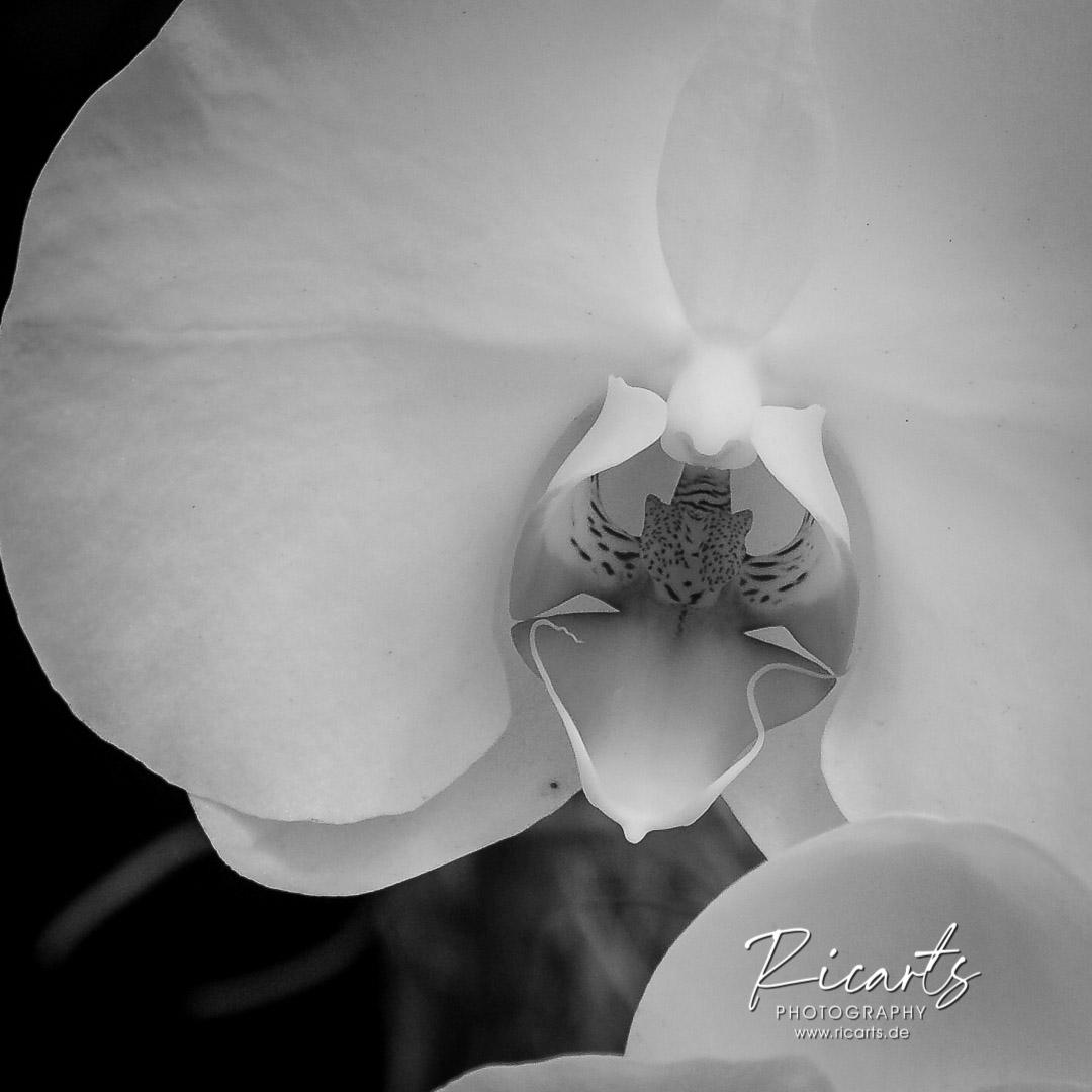 Fotografie-Nahaufnahme-Orchidee-Schwarzweiß