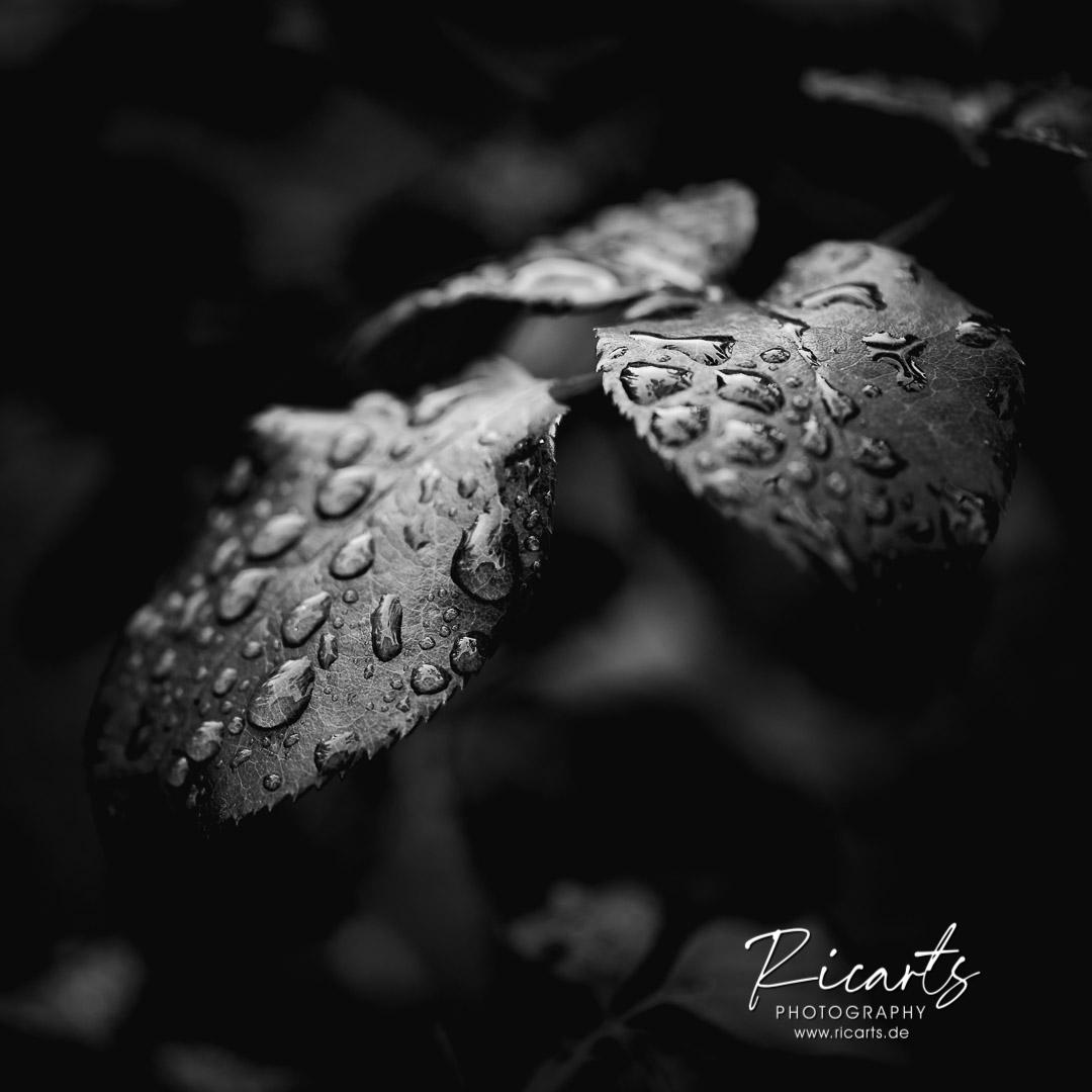 Fotografie-Nahaufnahme-Blätter-mit-Regentropfen-Schwarzweiß